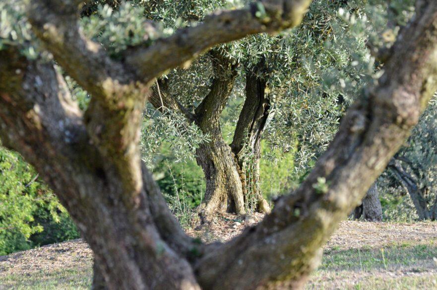 Olives Château Virant