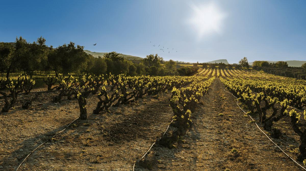 Vignes Château Virant